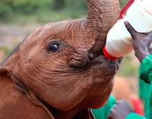 Baby Elephant Feeding From A Bottle Of Milk