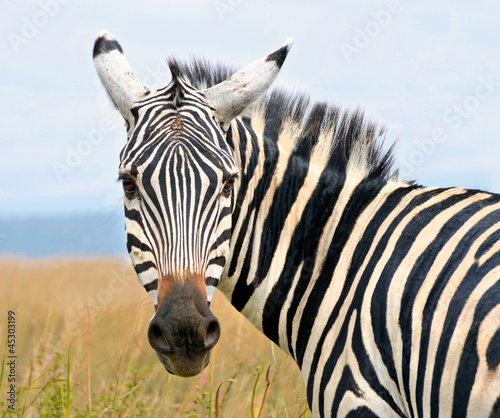 Closeup on zebra's head looking curiously