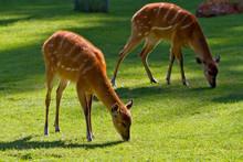 Wild Sitatungas On The Meadow