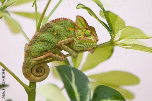 Keuken foto achterwand Kameleon Yemen chameleon