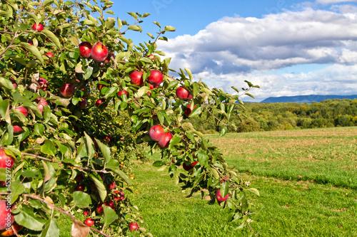 Foto-Schiebegardine ohne Schienensystem - Apfelbaum in der Natur