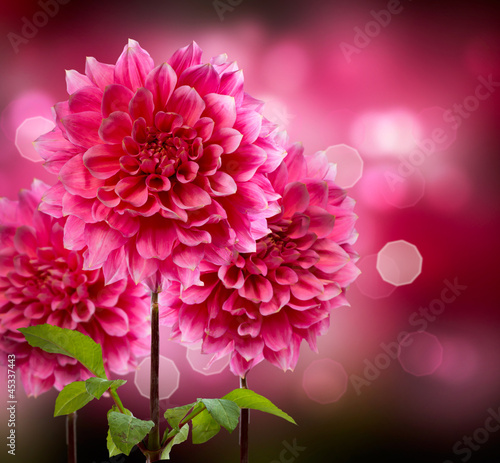 Dahlia Autumn Flowers - 45337443