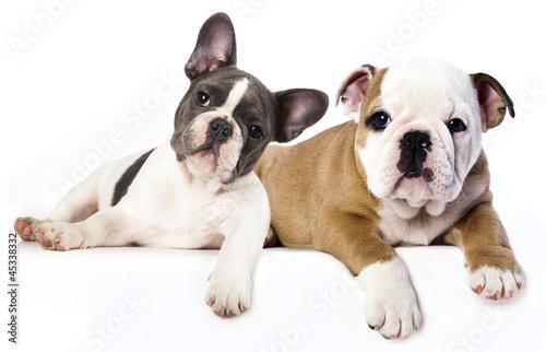 Deurstickers Franse bulldog French Bulldog and english Bulldog puppy