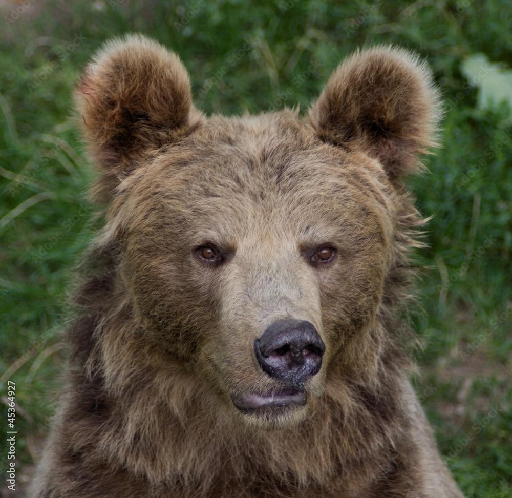 Fototapeta Bear (Ursus arctos)