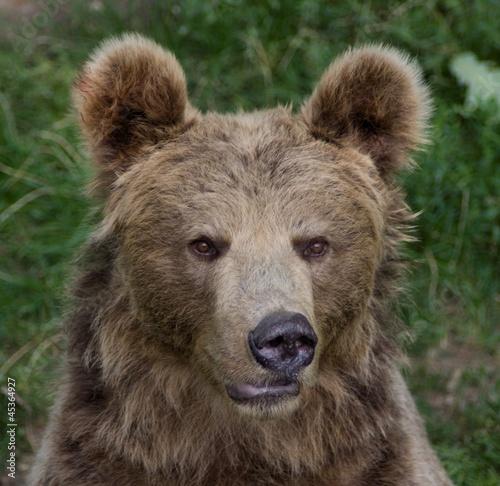 Fototapeta Bear (Ursus arctos) obraz