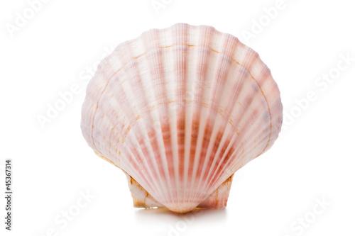 Fotografia scallops shell