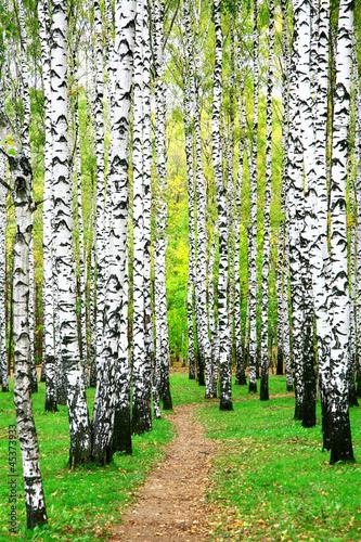 Spoed Fotobehang Berkbosje Pathway in autumn birch grove