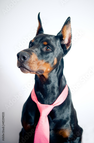 Fotografia, Obraz Doberman wearing pink tie