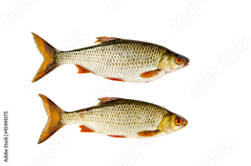 Fényképezés isolated on white two roach fishes