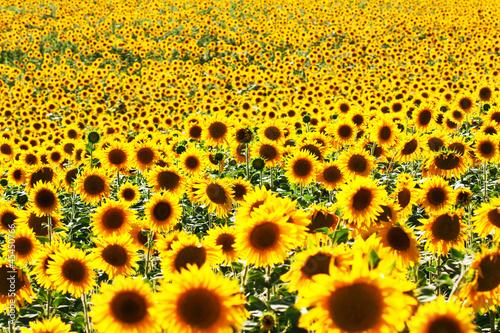 Poster Jaune sunflowers