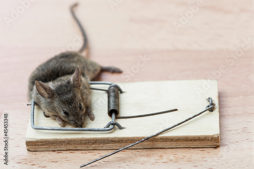 Photo  Dead mouse in a mousetrap
