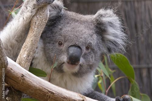 Staande foto Koala Koala looking from the branches, Australia