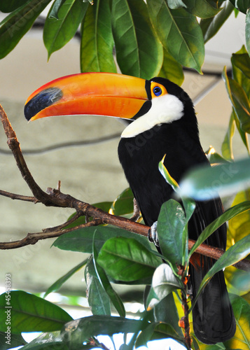 Deurstickers Toekan Toucan bird