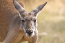 Kangaroo Looks, Adelaide, Australia