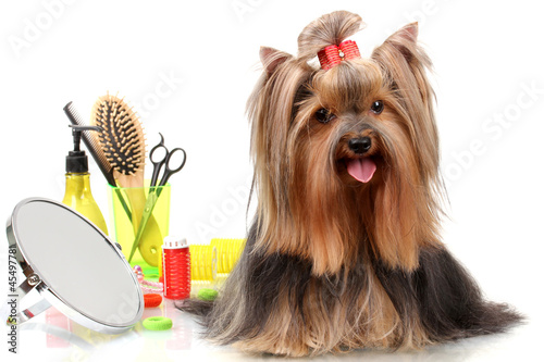 Fotografía  Beautiful yorkshire terrier with grooming items isolated