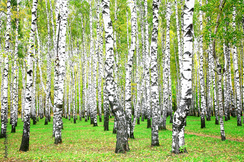 Papiers peints Bosquet de bouleaux September autumn birch grove