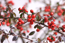 Cotoneaster Ursynów  On A White Background