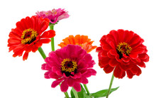 Bouquet Of Pink Red And Orange Zinnia Flowers Isolated