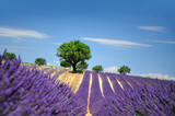 Lavender field The plateau of Valensole in Provence