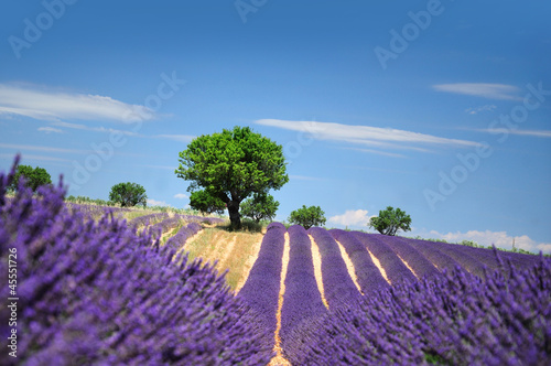 In de dag Lavendel Lavender field. The plateau of Valensole in Provence