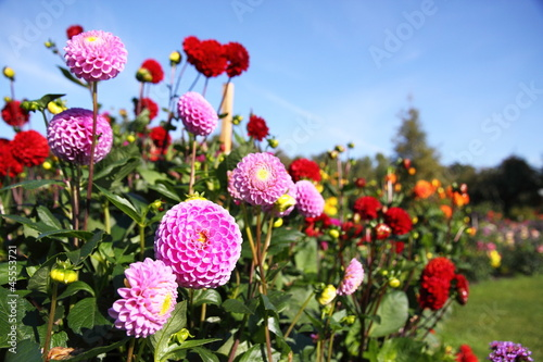 Fototapeta bunte Dahlienblüte