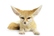 Fennec Fox (Vulpes Zerda) Isol...