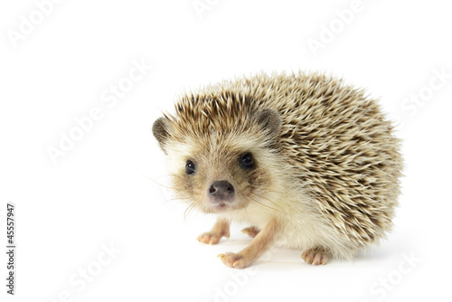 Fotografia Hedgehog (erinaceus albiventris) isolated on white background.