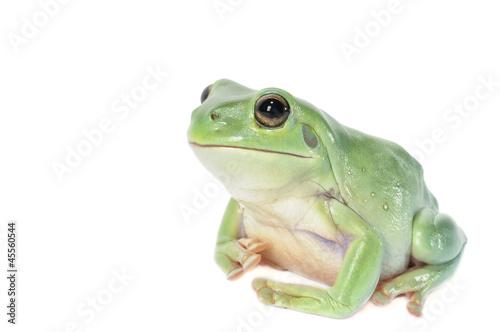 Foto op Plexiglas Kikker Whites Tree Frog