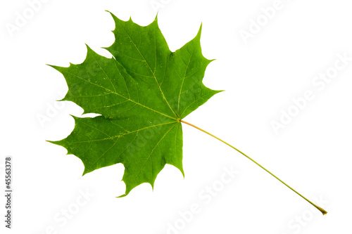 Fotografie, Obraz  High Resolution green leaf of maple tree isolated on white
