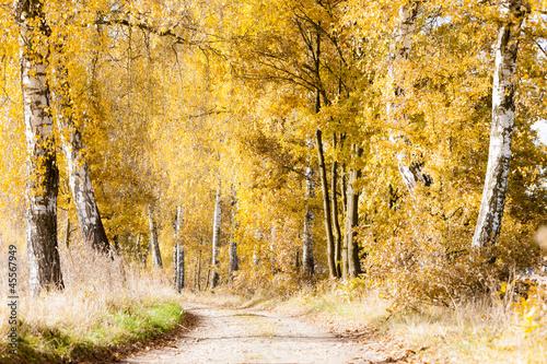 autumnal birch alley