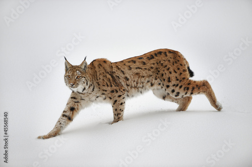 Photo Stands Lynx Luchs im Schnee