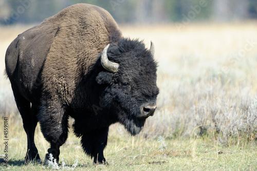 Keuken foto achterwand Buffel Buffalo at Yellowstone