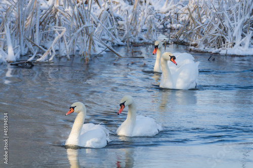 Poster Cygne White swans in the river at cold winter