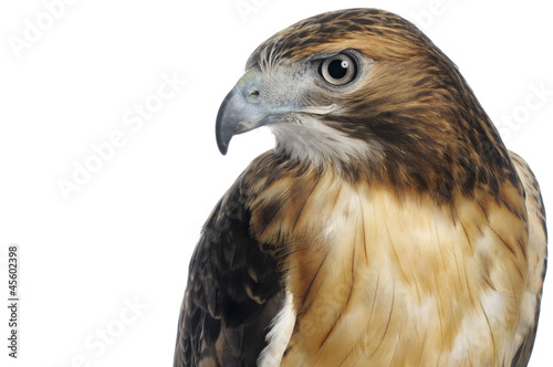 Red-tailed Hawk on White Canvas Print