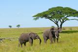 Fototapeta Animals - słonie