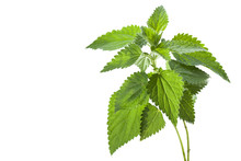 Stinging Nettle ( Urtica Dioic...