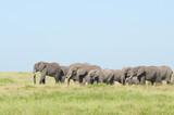 Fototapeta Sawanna - słonie