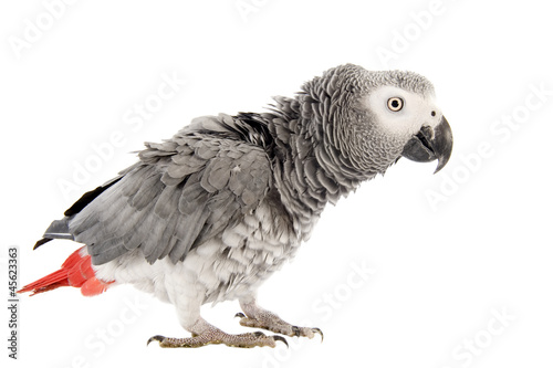 scaring African Grey Parrot