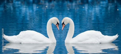 Couple of swans - 45650281