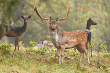 Fallow Deer With Females During The Rut