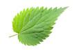 canvas print picture - Brennessel (urtica dioica) Vorderseite eines einzelnen Blatts au
