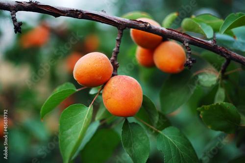 Photo apricot 7