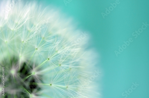 Printed kitchen splashbacks Dandelion Dandelion