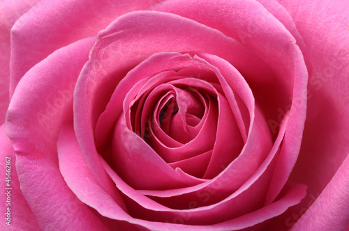 Spoed Foto op Canvas Macro Close up of pink rose heart and petals