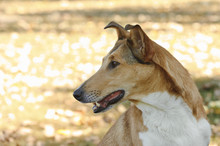 Smooth Collie Dog