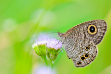 """Close-up Of A Grey/brown Patterned Butterfly With Large """"eye"""" Sp"""