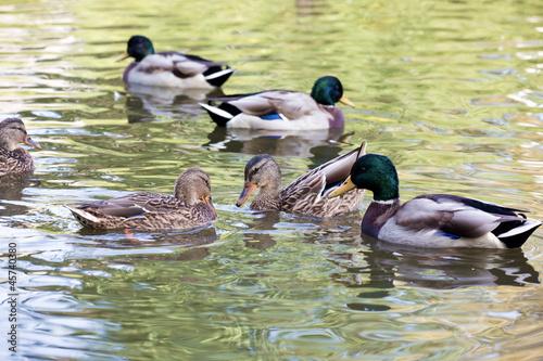 Fotografie, Obraz  Ducks on lake