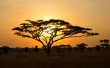 Fototapeta Sawanna - Rising Sun shinning through an Acacia Tree in Serengeti