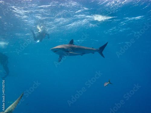Foto op Plexiglas Dolfijnen Silky shark (Carcharhinus falciformis) and diver