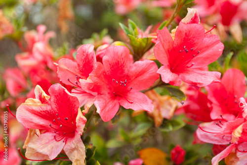 Tuinposter Azalea azalée